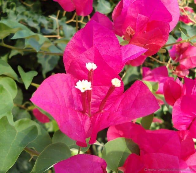 Buganvilias Flor