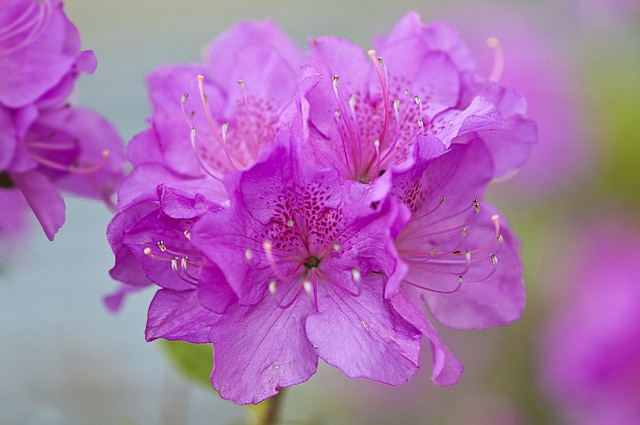 Flor Azaleia