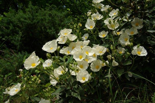 Flor Cistus X Corbariensis