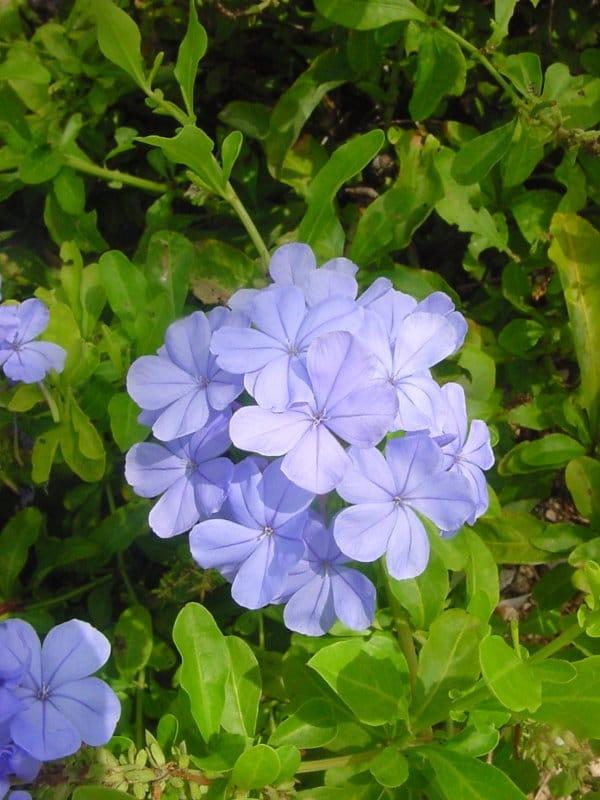 Flor Plumbago Auriculata