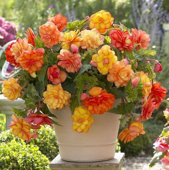 begonias multicolores