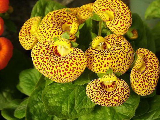 calceolaria 2