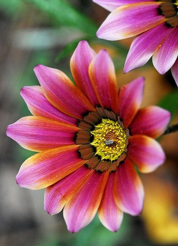 gazania multicolor