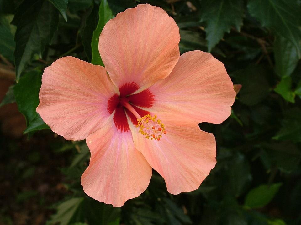 06 hibisco