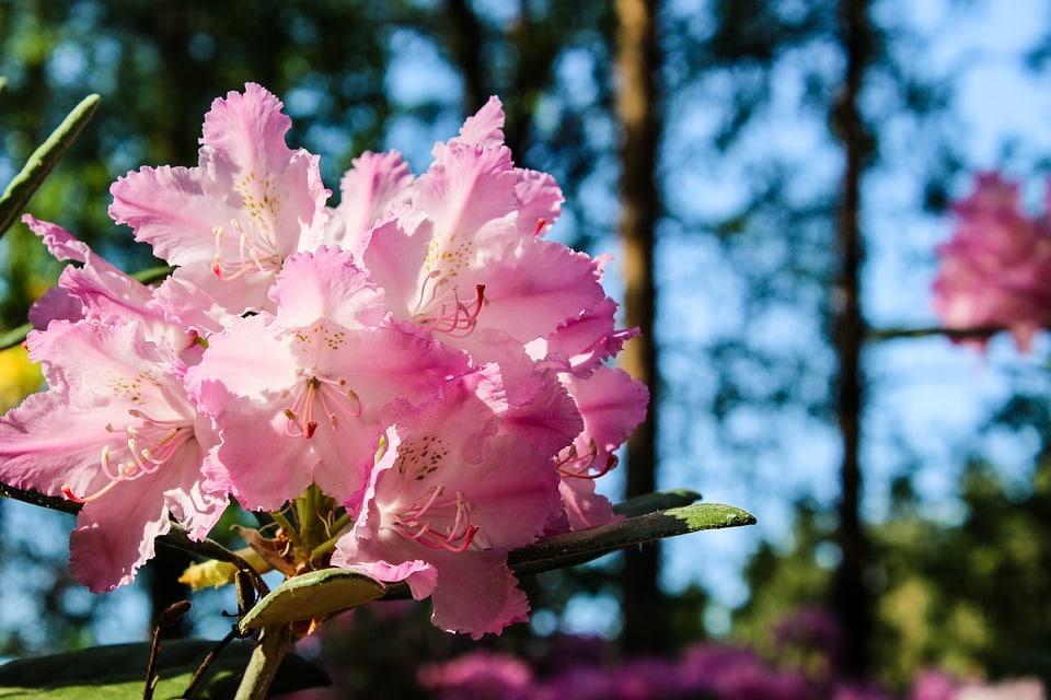 08 rododendro