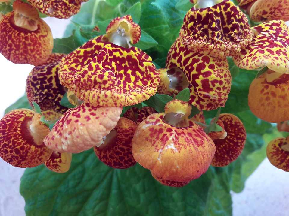 33 calceolaria