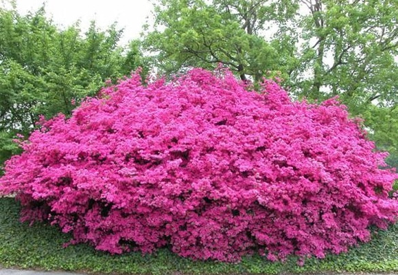Arbustos para jard n 31 ideas para escoger el tuyo - Arbusto pequeno con flores ...