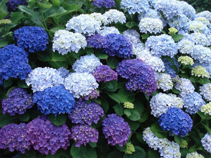 Arbustos para jard n 31 ideas para escoger el tuyo estreno casa - Cuidar hortensias exterior ...