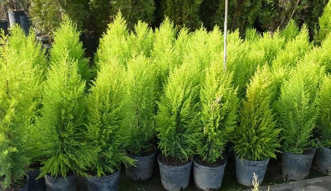Arbustos para jard n 31 ideas para escoger el tuyo for Pinos para jardin