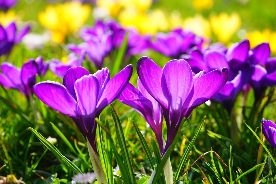 flor de azafran 2