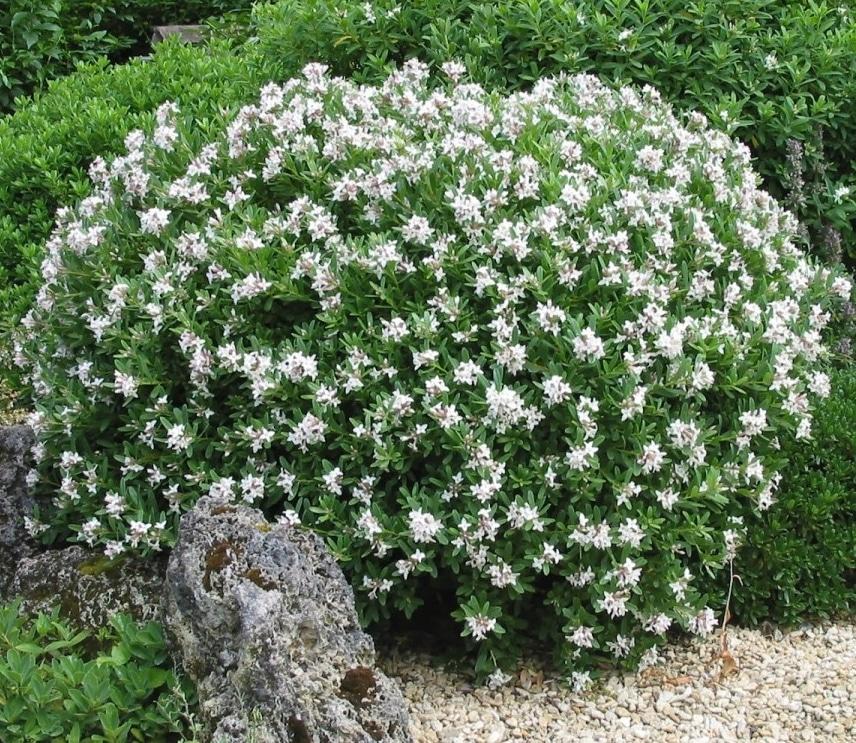 08 gardenias planta