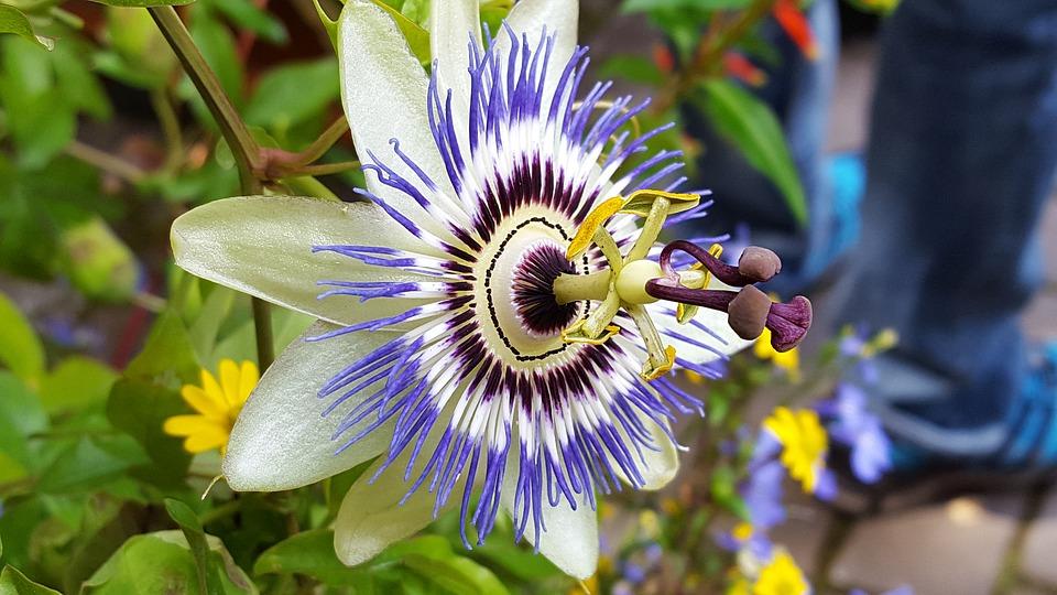 20 plantas trepadoras con flor que debes tener en casa - Plantas trepadoras de sol ...