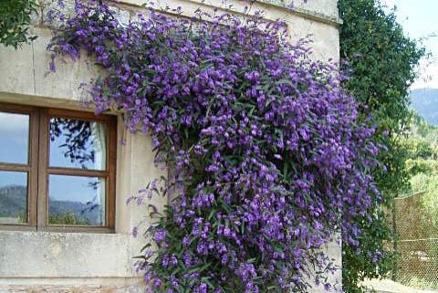 20 plantas trepadoras con flor que debes tener en casa estreno casa - Plantas trepadoras para pergolas ...