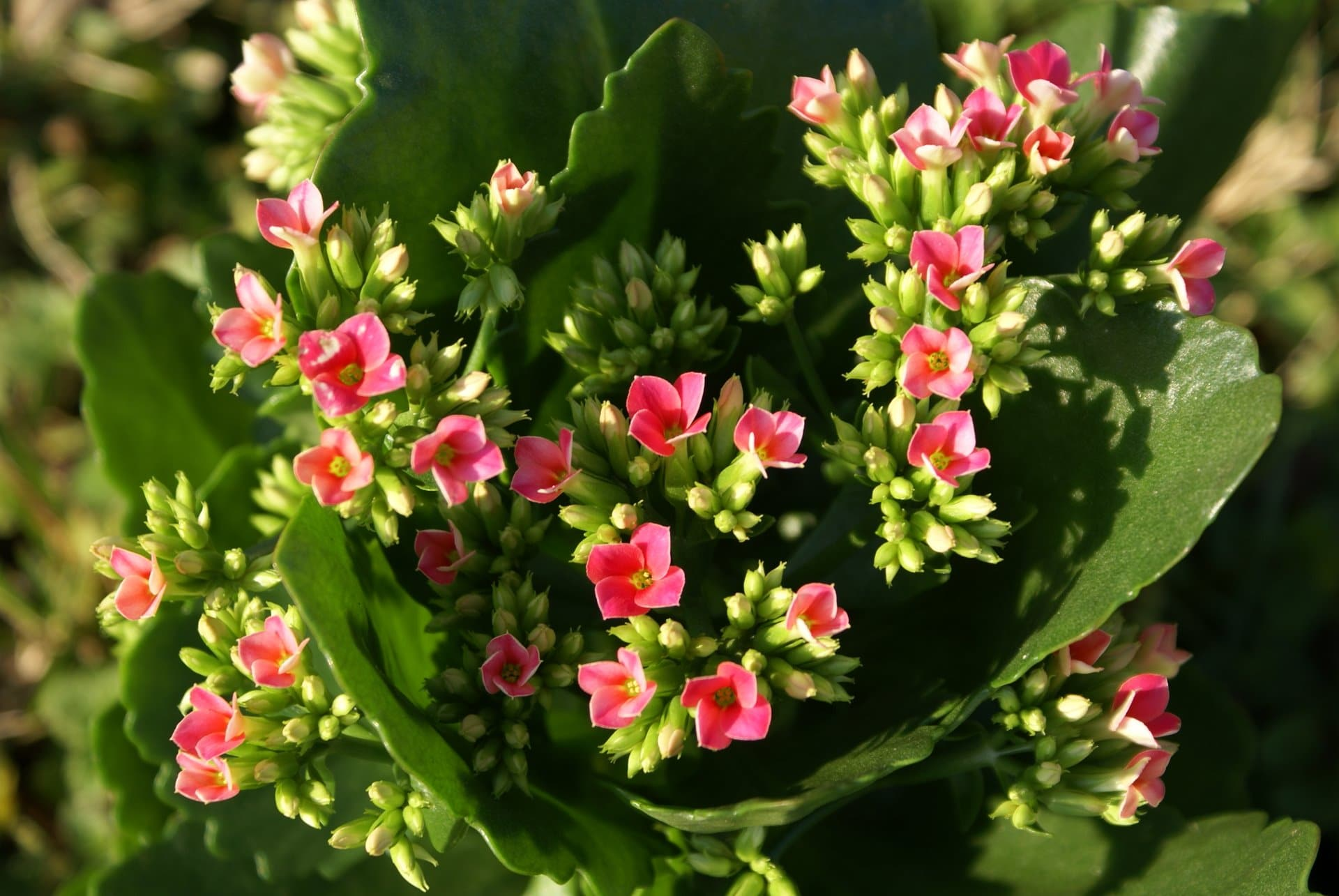 43 Calanchoes