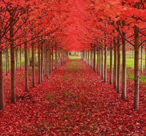 Arce Rojo